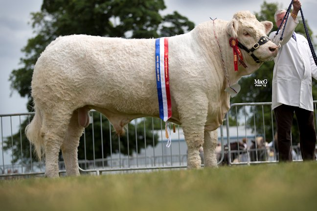 Maerdy Grenadier - Male Champion and Continental Beef