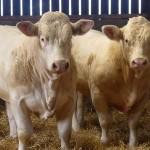 Bull Class Three
