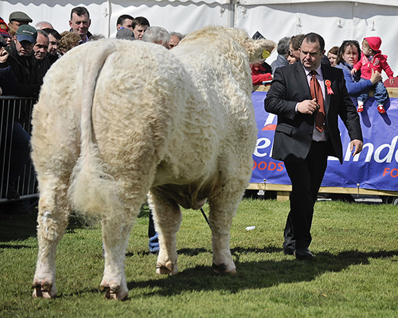 Robert Adam, the Charolais judge appraises one of the Charolais bulls
