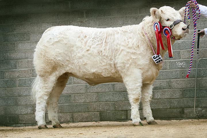 Glenericht Hilary Senior Interbreed Champion