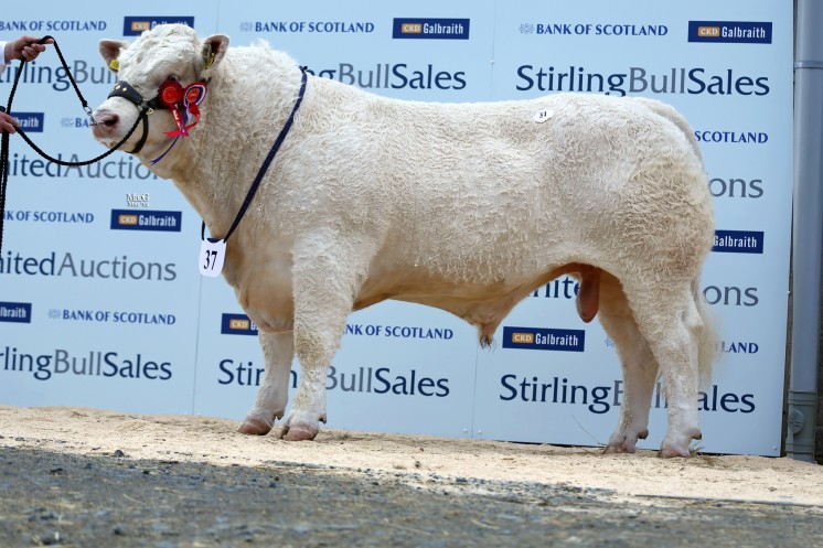 The breed's champion Clyth Gizmo sold for 6,500gns to Dalhanna Farming, Castle Douglas, Dumfries and Galloway.