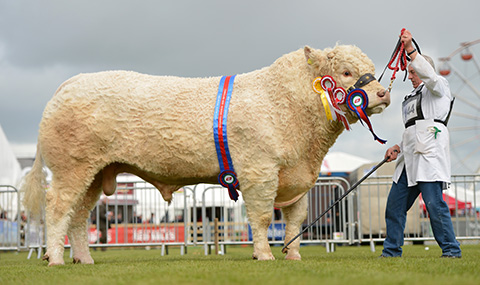 Reserve Supreme Charolais Rumsden Fawkes
