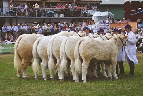 The Charolais group on parade