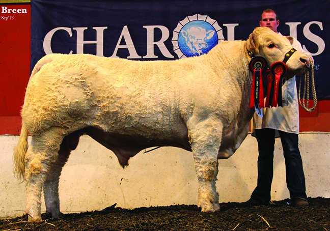 Coolnaslee Hussar Intermediate Bull Champion owned by Mr G J Crawford and exhibitied by Stuart Wilson