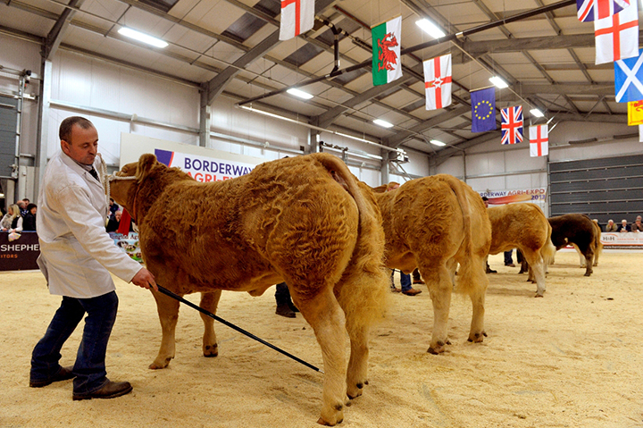 """A strong Charolais sired heifer class was led by Hefin Parry's """"Jade"""" the eventual Reserve Supreme Champion"""