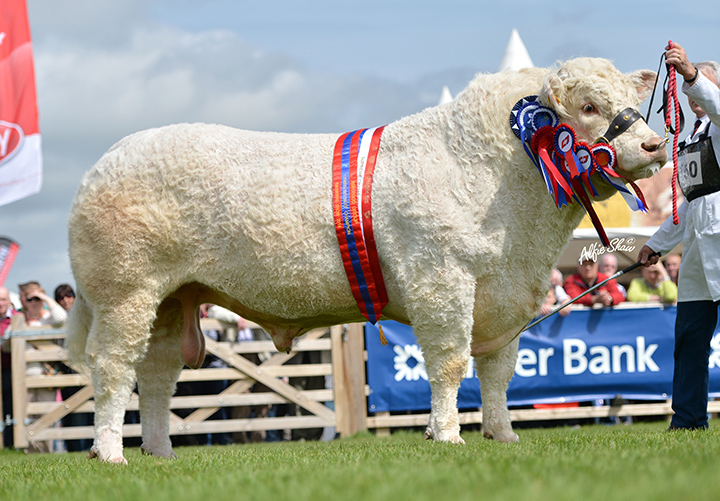 Supreme Champion Charolais Rumsden Fawkes by Paddy Gallagher winner of the Bardin Trophy and Breeders Cup for the best Charolais bull