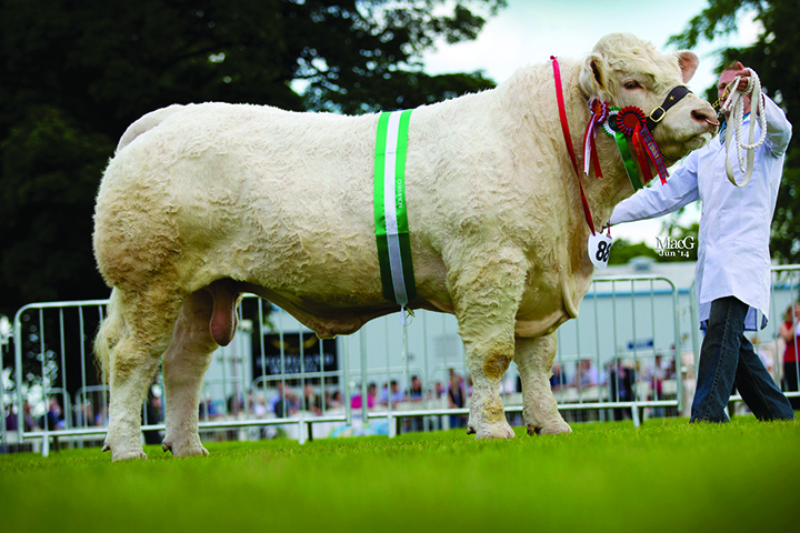 Mornity Farms Maerdy Hwre was the reserve junior Charolais champion and the inter-breed champion in the Marks and Spencer Performance recorded class