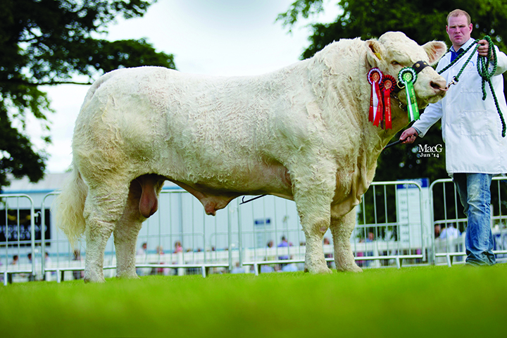 Gilbert Crawford's Goldstar Hugo2 shown by Stuart Wilson was the junior champion Charolais and the inter-breed junior champion