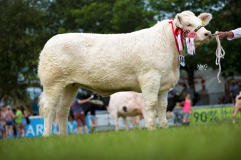 Sportsmans Infanta, the Junior Champion Charolais Female and the Inter Breed Junior Heifer Champion