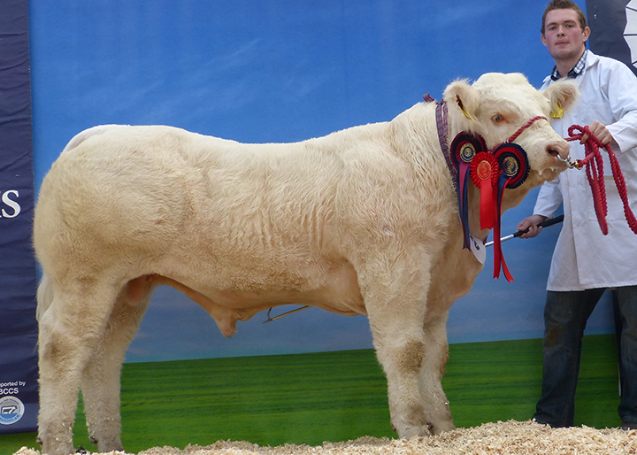 Ballyoak Jackson Junior Male Champion exhibited by Sean McKenna of S & A McKenna