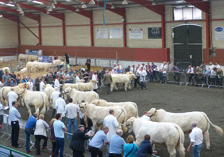 The Charolais Pairs on display
