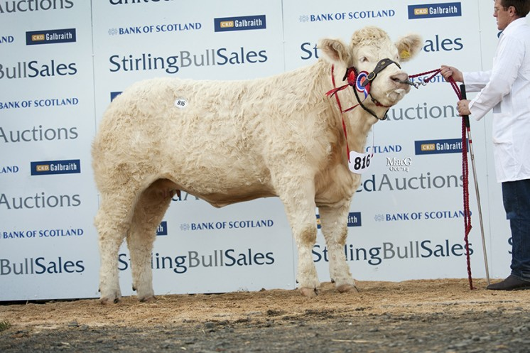 Female champion Goldies Hilary at 5,800gns