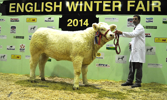 Overall Calf sired by a Charolais Bull - G Jones' senior heifer Graiggoch Imogen