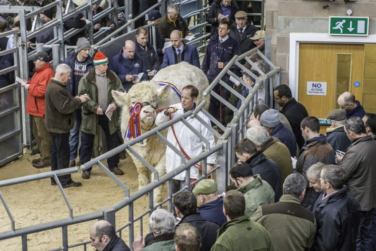 Lot 438 - Overall Champion Goldies Ivan - sold for 12000 gns