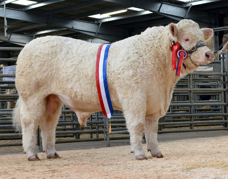 The champion bull Graiggoch Iceman sold for 5,500gns