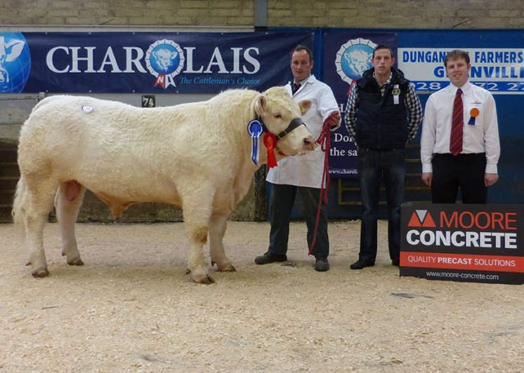 Reserve Junior Male Champion Killadeas Jonny 3,700gns