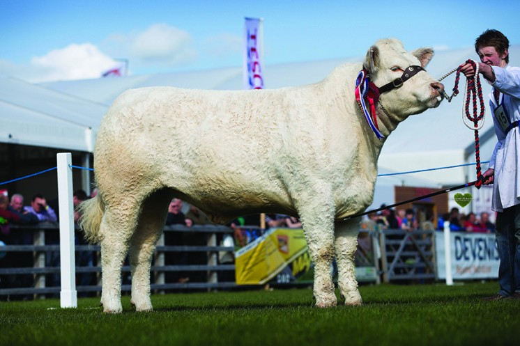 Reserve Supreme Champion Bessiebell Incredible homebred heifer owned by J&S Smyth