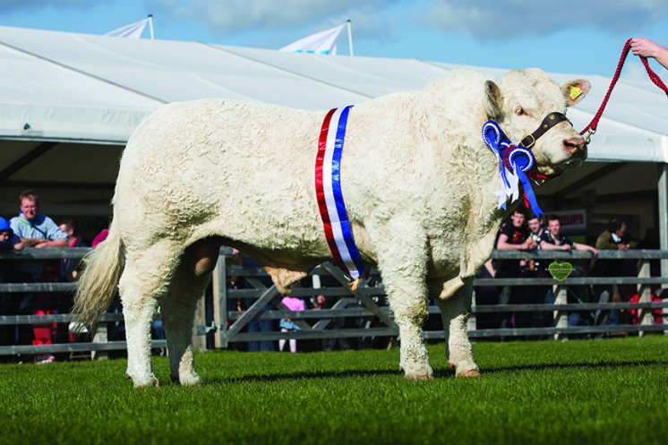 Stranagone Jones winner of the Breeders Cup for the best Charolais Bull at Balmoral
