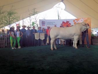 grand champion bull mexico