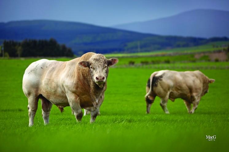 16Darnford 5 bulls
