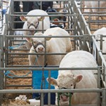 The British Charolais Cattle Society show and sale,Welshpool Livestock Market Picture Tim Scrivener 07850 303986 scrivphoto@btinternet.com ….covering agriculture in the UK….