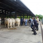 Judging the cattle