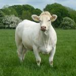 Wissington Cow