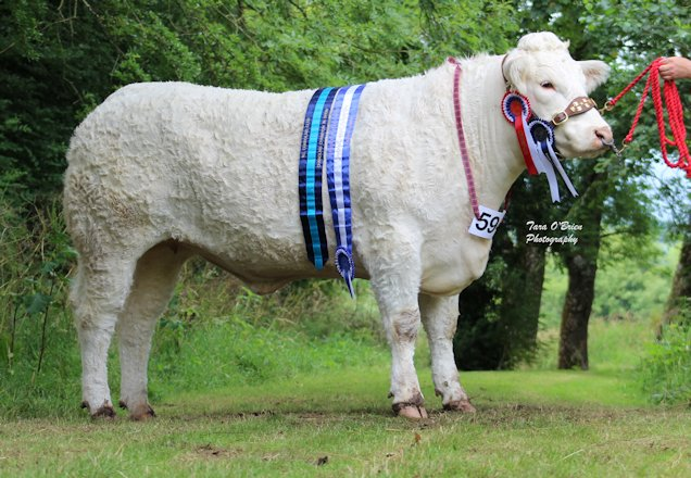 Charolais champion champion and interbreed champion at Clogher, Brigadoon Lady - W.D & J.A Connolly