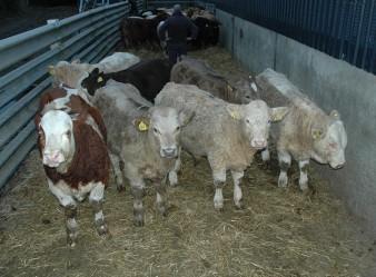 gwythrian-bulls