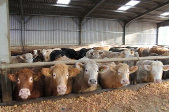 cattle lineup - web