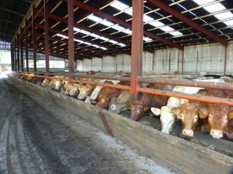 McKelvey Cattle