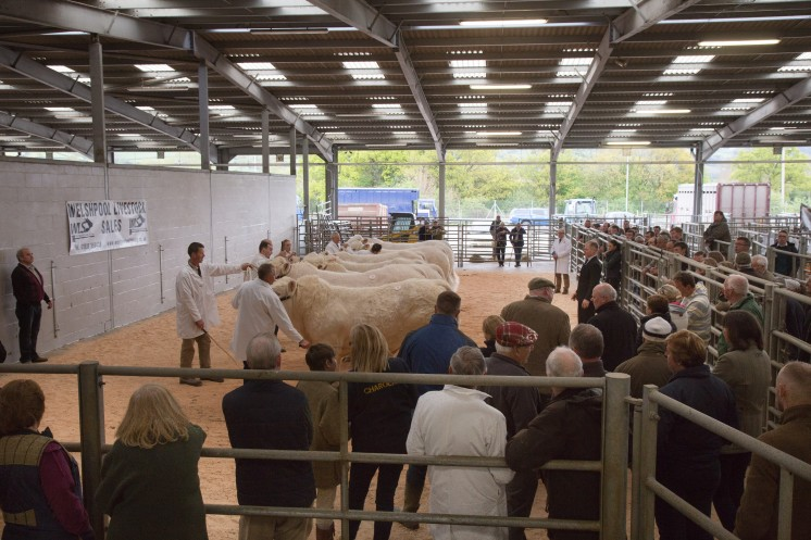 The British Charolais Cattle Society Official Show & Sale,Welshpool Livestock Market Picture Tim Scrivener 07850 303986 ….covering agriculture in the UK….