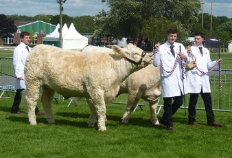 The team leads the cattle in the show ring