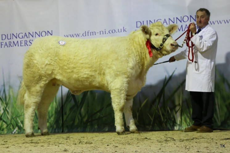 HillviewFarm Margo, Junior Heifer Class winner for L.Richardson. Sold £5,200